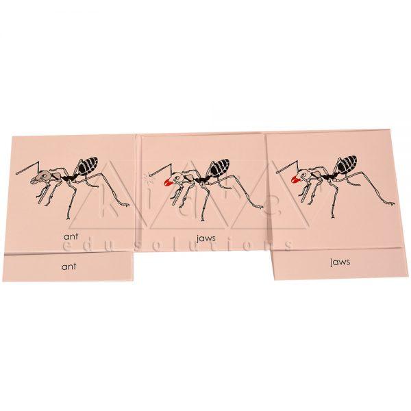 ZCO302-Nomenclature-cards-Ant-.jpg