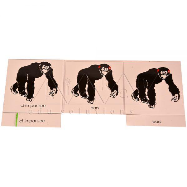 ZCO317-Nomenclature-cards-chimpanzee-.jpg