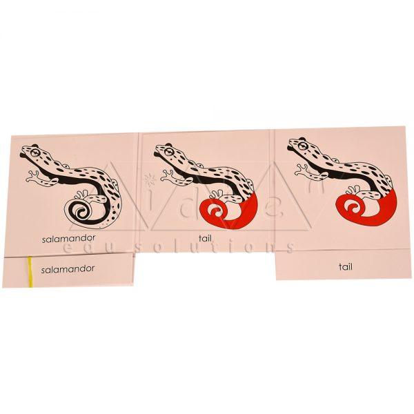 ZCO327-Nomenclature-cards-Salamander-.jpg